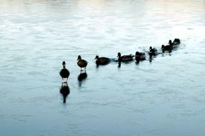 Duck-Leader